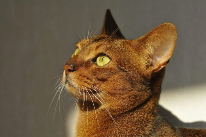 Сколько живут абиссинские кошки