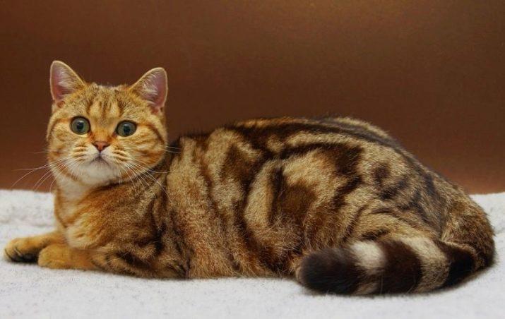 Британская голубая мраморная кошка с каким котом thumbnail