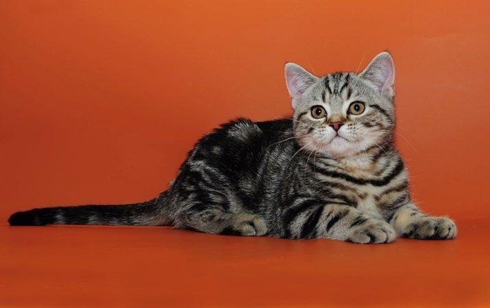 Британская голубая мраморная кошка с каким котом