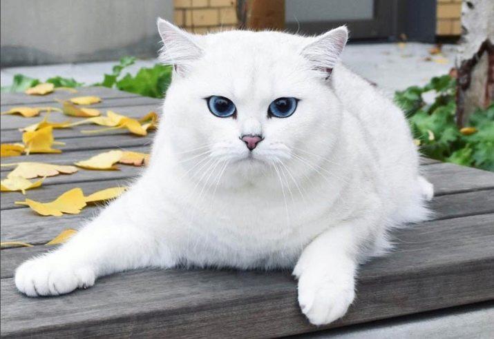 Как называется порода кошки коби