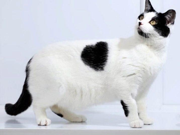 Что за порода черно белых кошек