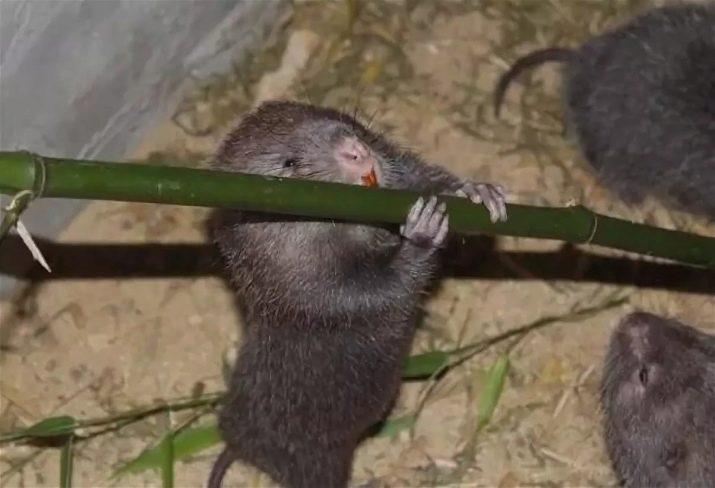 Крыса и бамбук