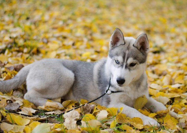 Как выбрать красивую кличку для щенка хаски: варианты для мальчика и девочки 8