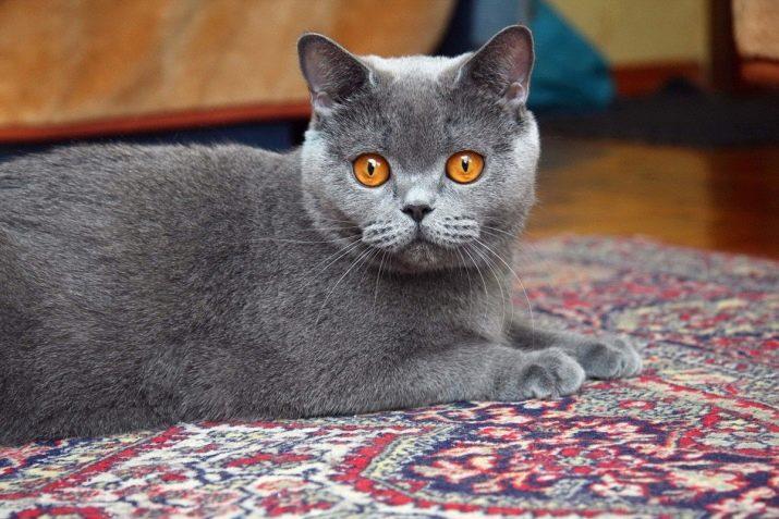 Порода кошек которые не гадят thumbnail