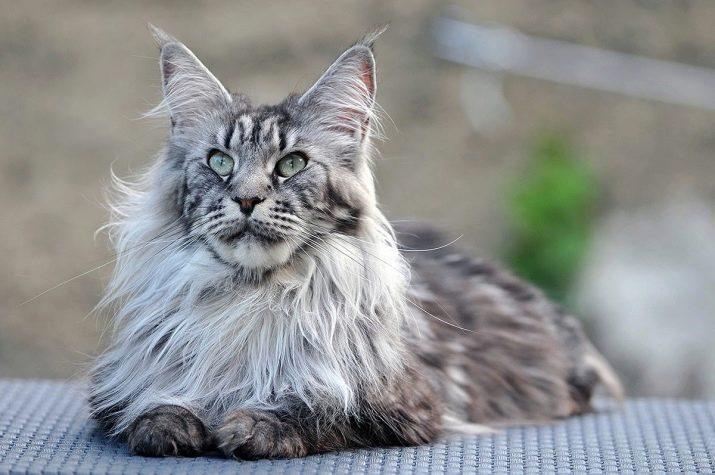 Породы с кисточками на ушах кошек фото с названиями пород