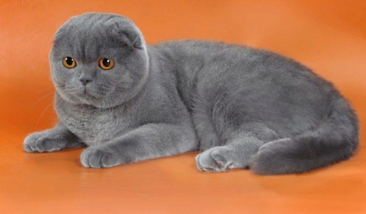 Шотландская вислоухая кошка шоколадного окраса фото