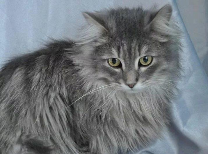 сибирские кошки серо белого окраса фото