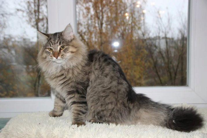Сибирская кошка какие окрасы бывают thumbnail