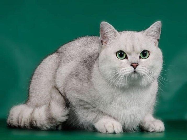 ситца, длиной шотландская прямоухая шиншилла кошка фото спешат