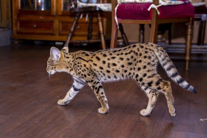 Кошки самого редкой породы
