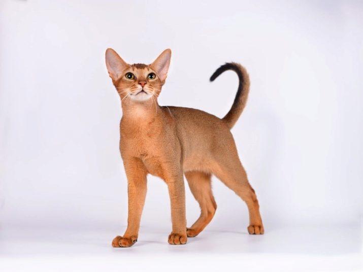 Рыжая порода кошек короткошерстная фото