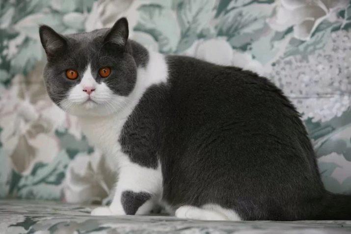 Какая порода у серо белых кошек