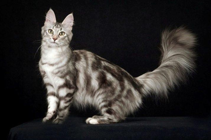 Какая порода у серо белых кошек thumbnail