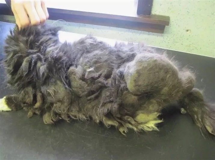 Сколько лет живут кошки породы шотландская вислоухая
