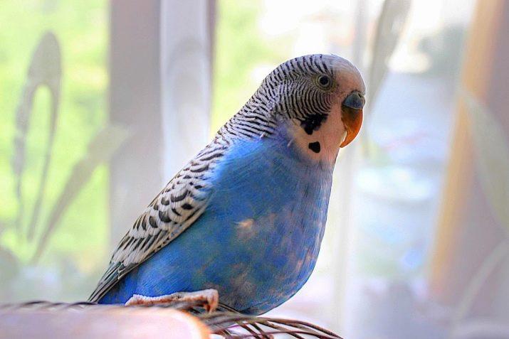 Картинки с попугайчиками волнистыми голубыми, аврора картинки