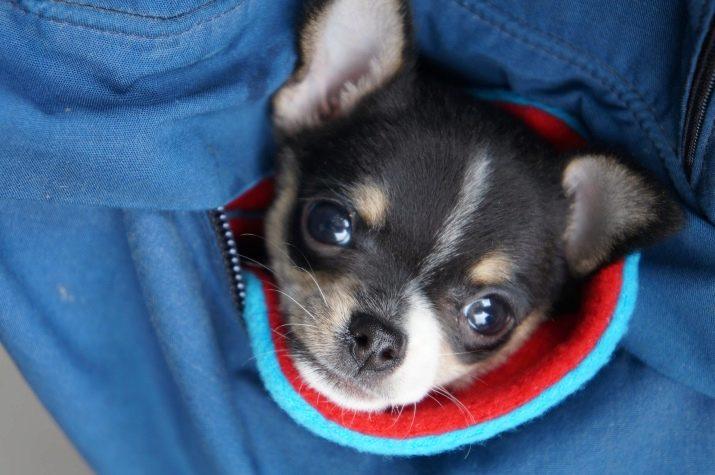 Картинки про карманных собак