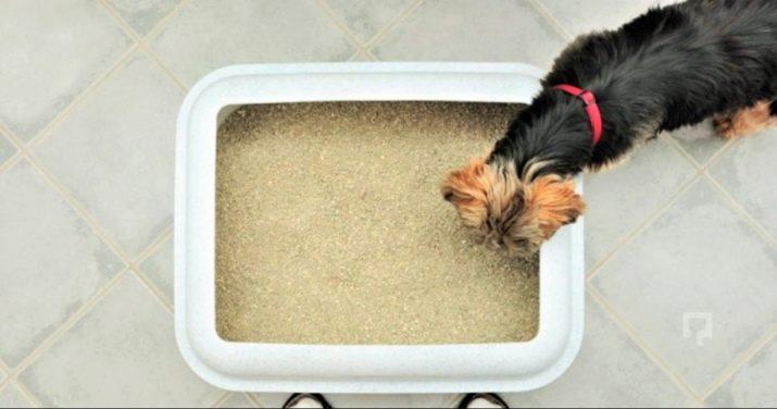 Ши-тцу: все о собаке, фото, описание породы, характер, цена 5