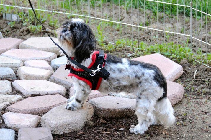 Ши-тцу: все о собаке, фото, описание породы, характер, цена 8