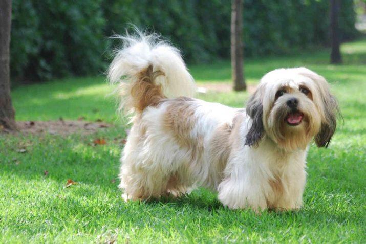 Ши-тцу: все о собаке, фото, описание породы, характер, цена 1
