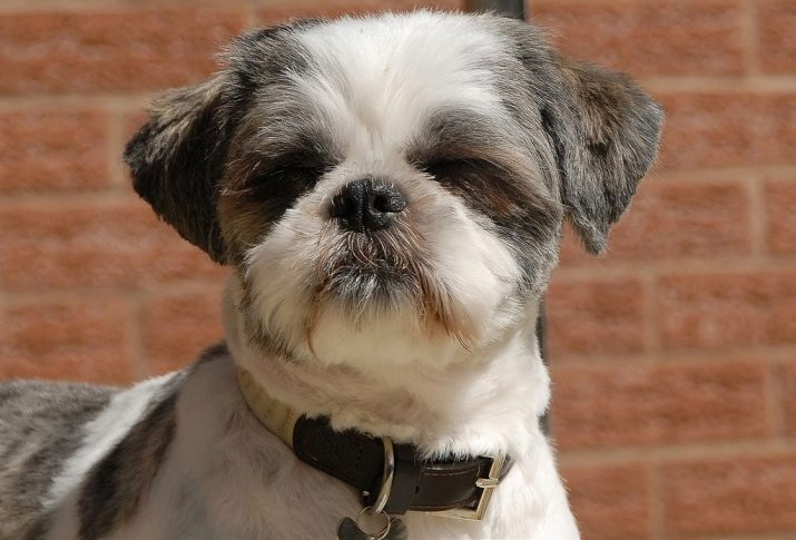 Ши-тцу: все о собаке, фото, описание породы, характер, цена 3
