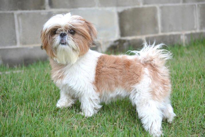 Ши-тцу: все о собаке, фото, описание породы, характер, цена 4