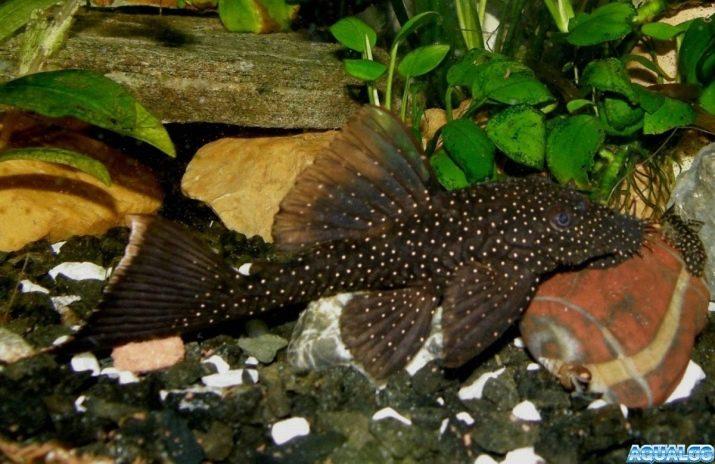 Виды аквариумных сомов (34 фото): разновидности сомиков с ...  Птеригоплихт Альбинос