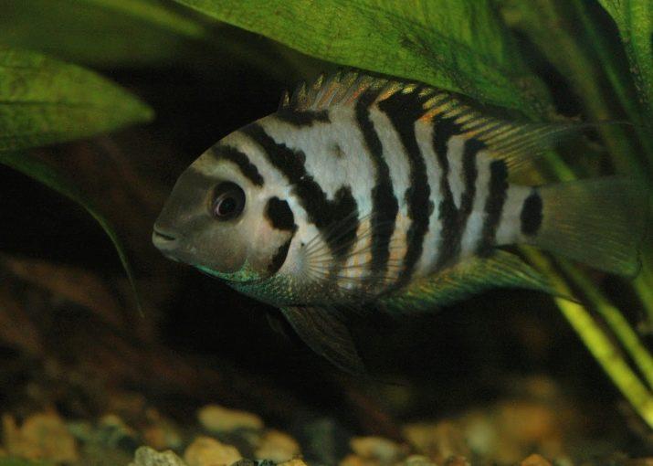 хищные рыбы название фото аквариумные диабет это коварное