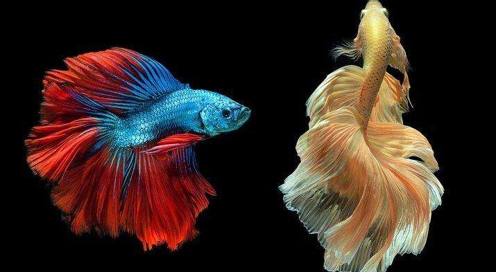 Имена для рыбок петушков мальчиков красного цвета
