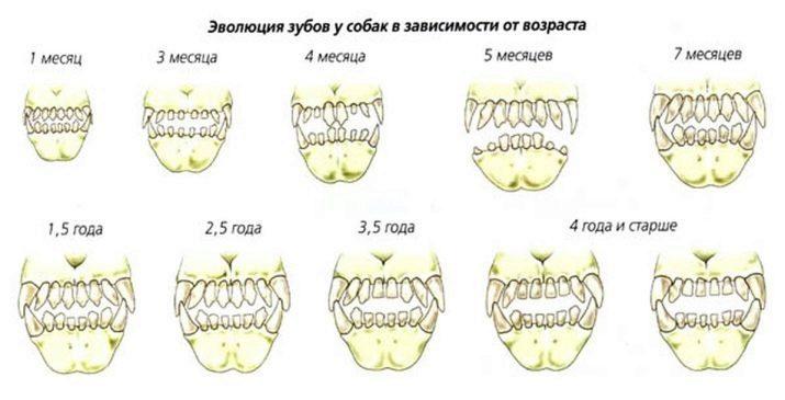 как определить возраст щенка по зубам фото выдал