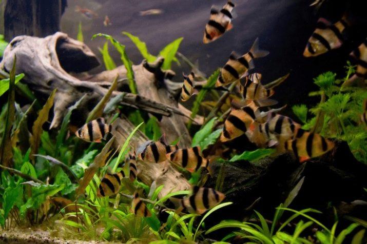 sovmestimost-barbusov-s-drugimi-rybami-1.jpg