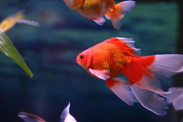 Картинка рыбки вуалехвост