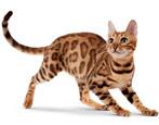 Бенгальская кошка: особенности породы и характер